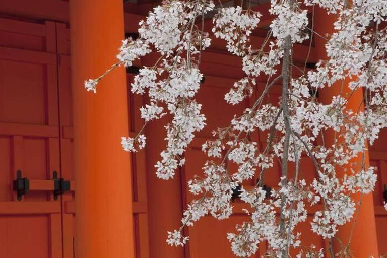 Les cerisiers japonais sont-ils chinois ?