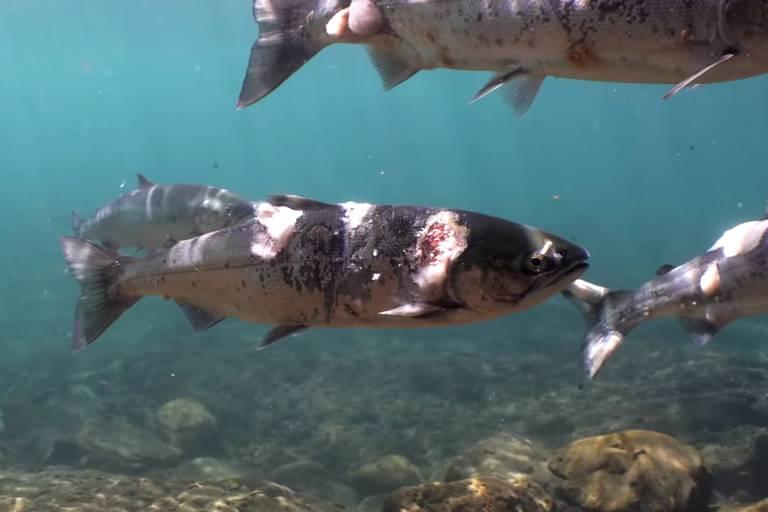 Aux États-Unis, des saumons meurent brûlés par une eau devenue bien trop chaude pour eux