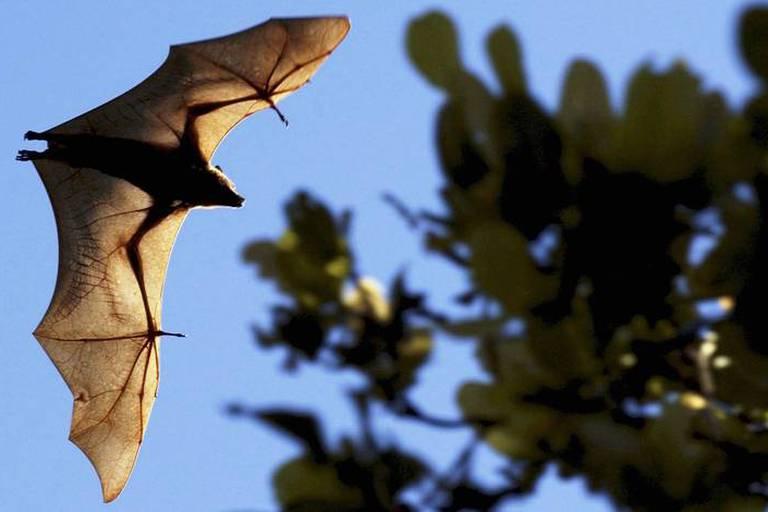 Les chauves-souris détiendraient-elles le secret de l'immortalité?