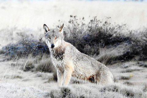 Dans l'imaginaire collectif, le loup est une menace pour l'homme et surtout pour les troupeaux.