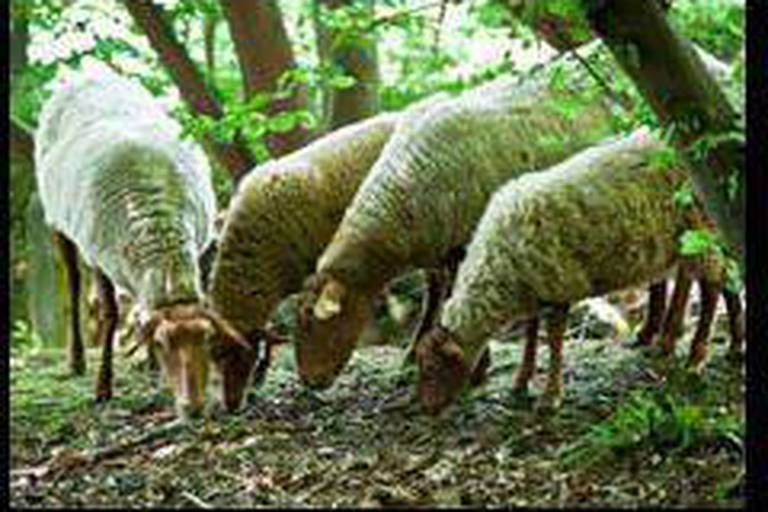 Mouton-tondeuse en plein Paris