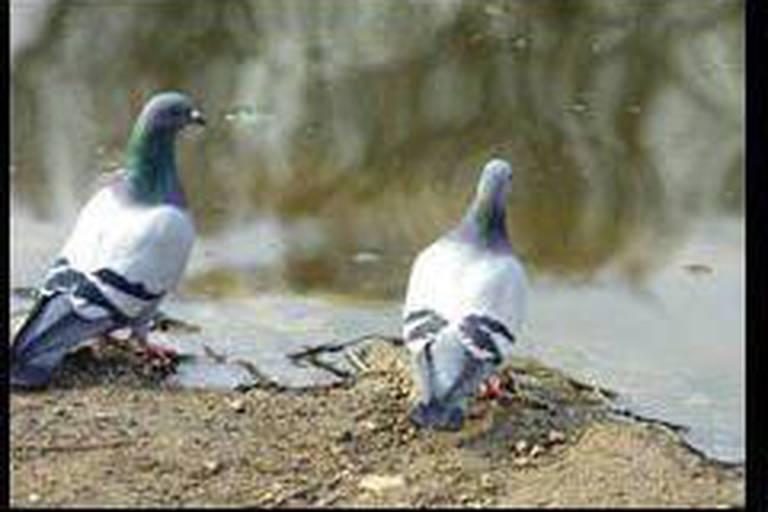 Mais où se cachent les pigeons pour mourir ?