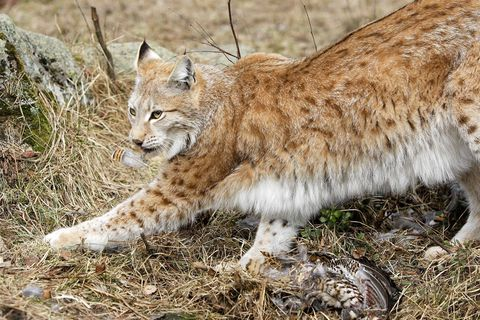 Naissance de deux lynx boréal, une première dans les Vosges depuis le XVIIe siècle