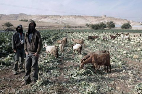 """Goats are seen grazing in a cultivated field near the village of Ein al-Beida in the eastern foothill of the Jordan Valley where a Palestinian cabinet meeting chaired by prime minister Rami Hamdallah is being held, on December 31, 2013. The Israeli Ministerial Committee for Legislation of Israel, passed a bill on December 30, to annex Jewish settlements in the Palestinian Jordan Valley to be an official part of the Jewish state. The bill still needs to be approved by the Knesset (parliament) and is strongly contested by Chairwoman of the Committee, Tzipi Livni, who is also Israel's chief negotiator with the Palestinians, defining the bill as """" irresponsible"""". Israel occupied the Jordan Valley, around one third of the West Bank, in the 1967 Six-Day War. AFP PHOTO/JAAFAR ASHTIYEH"""