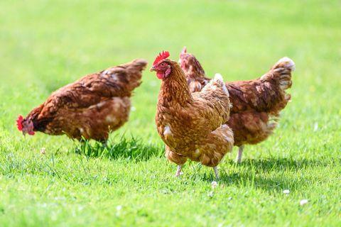 Un foyer de grippe aviaire hautement pathogène confirmé chez un détenteur particulier à Chiny