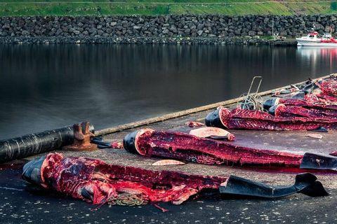 """1428 dauphins tués """"par erreur """"aux îles Féroé lors d'une tradition macabre: """"C'est une honte pour l'Humanité"""""""