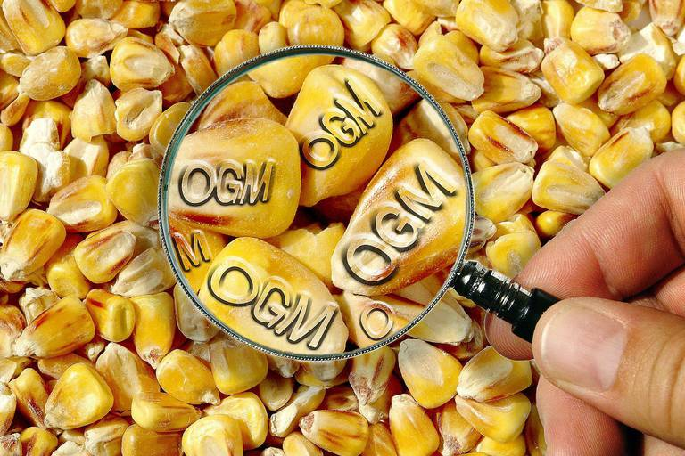 Brussels,08/2003 Biotechnology Research Sciences Genetic selection Greenhouse Seed Plantation Corn Food Nutrition Alimentation OGM GMO Genetically modified organisms Malnutrition Dietary dangers REPORTERS©Pascal Broze