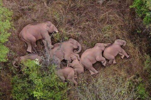 En Chine, drones et bananes contre éléphants vadrouilleurs
