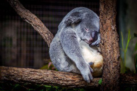Comment perdre la graisse du ventre ? - Koala au ventre gonflé