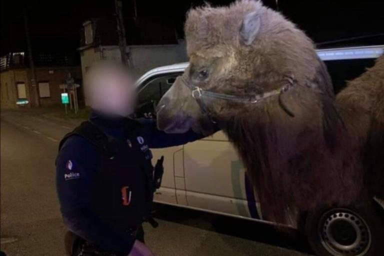 Marquain : deux chameaux et un dromadaire se baladaient sur la chaussée de Lille