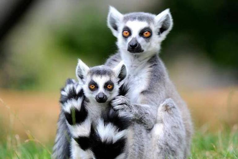 5,7 millions d'euros nécessaires pour sauver les lémuriens de Madagascar